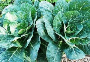 blue Collards