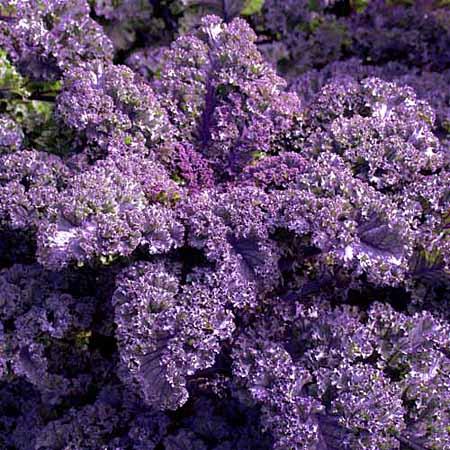 Curly Purple Kale