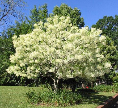 fringe-tree