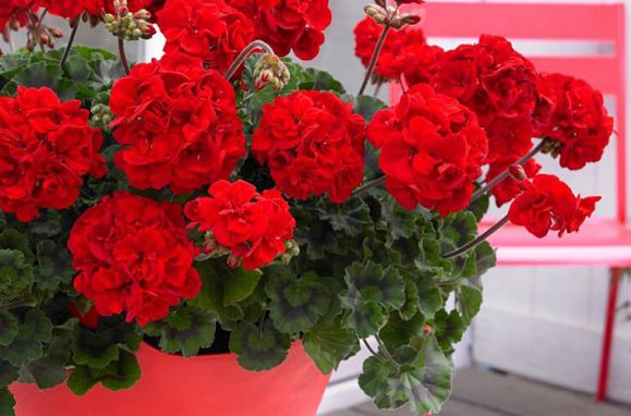red geranium plants