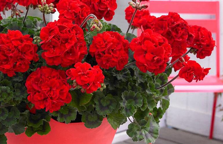 red geranium plants