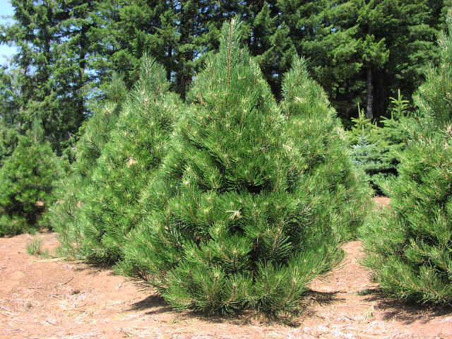 Ornamental Trees For Your Garden Recommended Types