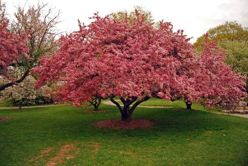 Ornamental trees archives ideas for garden backyard and for Crabapple tree