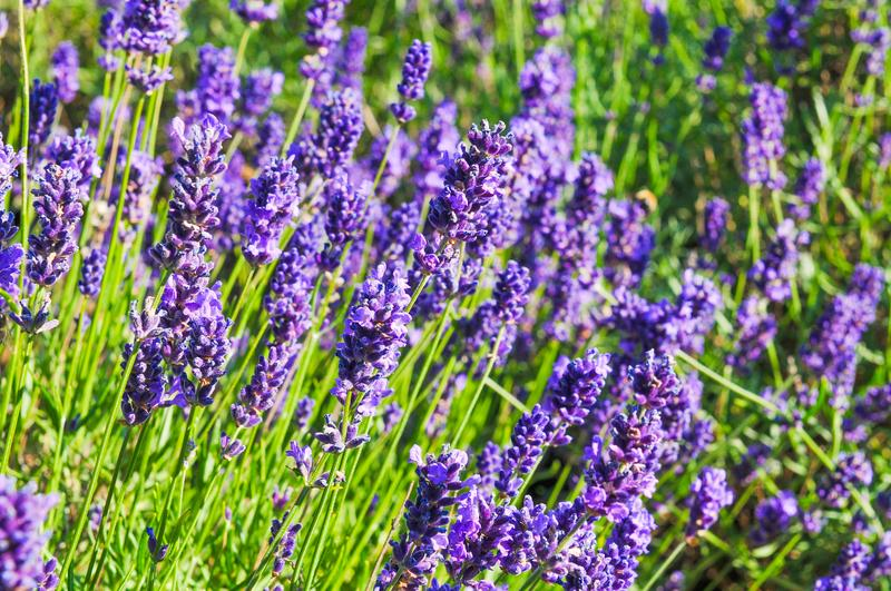 lavender insect repellent